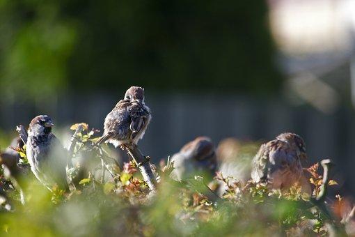 Sparrow, Sparrows, Gråspurve, Bird, Natural, Plumage