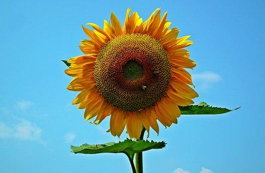 Sunflower, Flower, Yellow, Summer, Nature, Sunny