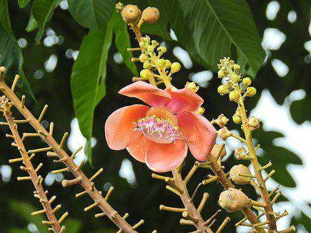 Cannon Ball Tree, Thailand, Blossom, Bloom, Flower