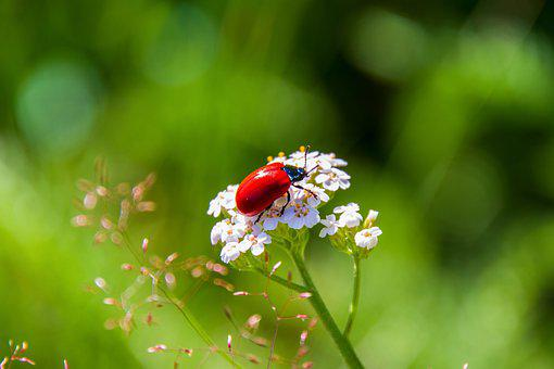 Beetle, Pappelblattkaefer, Red, Insect, Animal, Shiny