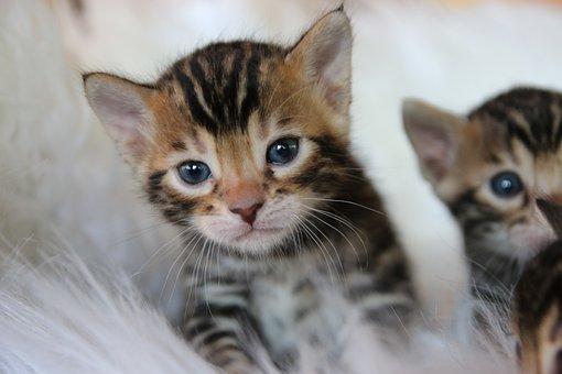 Bengal Kitten, Bengal Cat, Cat, Kitten, Bengal, Kitty