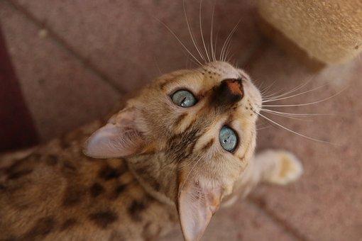 Bengal, Blu Eyes, Bengal Cat, Pet, Cat, Kitty, Kitten