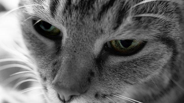 Cat, Eye, Black White, Face, Domestic Cat, Kitten, View