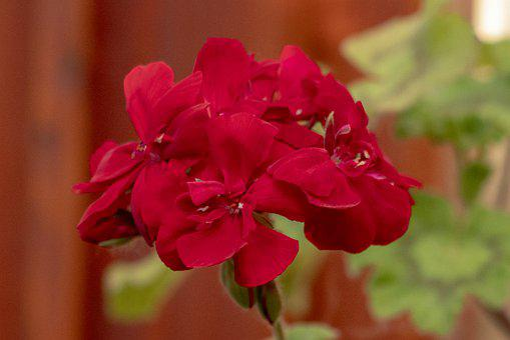 Geranium, Flower, Blooms At, Red, Flowers, Spring