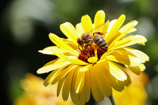 Bee, Insect, Blossom, Bloom, Marigold, Nature, Pollen