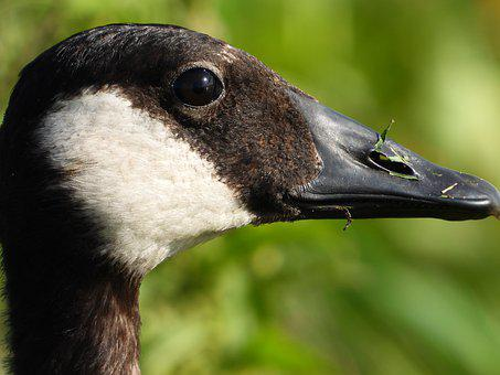 Goose, Canadian Geese, Face, Bird, Wildlife, Close-up