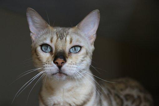 Bengal, Bengal Cat, White Bengal, Blu Eyes, Tiger, Cat