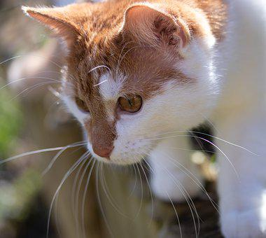 Cat, Red, Pet, Domestic Cat, Nature, Garden, Cat Face