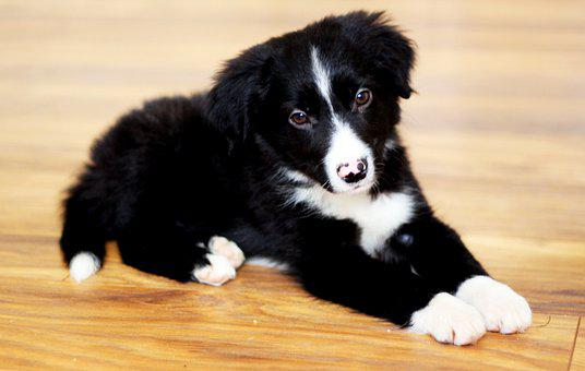 Border Collie, Collie, Dog, Pet, Portrait, Summer