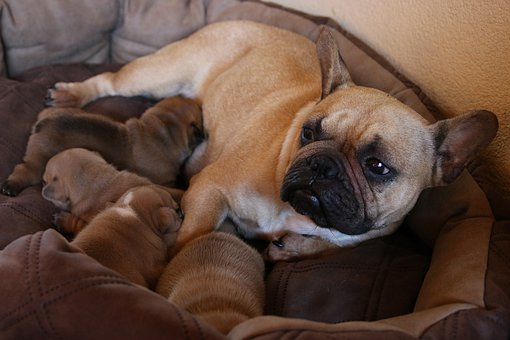 French, Dog, Pet, Cute, Puppy, Bulldog, Animal, Sweet