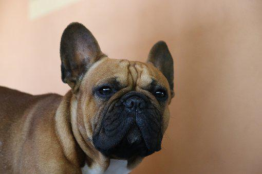 Dog, Dog French, Animal, Pet, Cute, Bulldog, Sweet