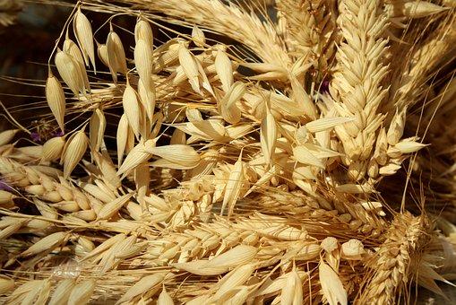 Corn, Ears, Agriculture, Harvest, Summer, Grains