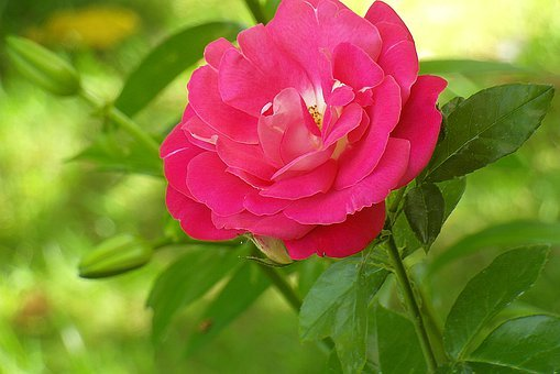 Rose, Flower, Red, Garden, Nature, Color, Pink, Fresh