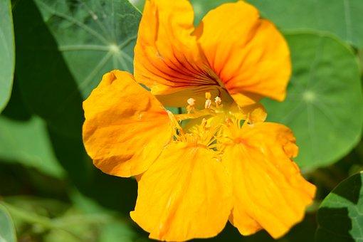 Flower, Yellow, The Nasturtium, Nature, Close-up, Macro