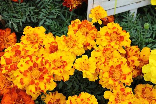 Marigold, Flowers, Garden, Orange, Summer, Plant