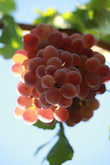 Wine, A Bunch Of, Harvest, Grapes, Nutrition, Fruit