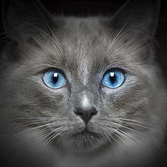 Cat, Feline, Portrait, Eyes, Fur, Blue, Nose, Whiskers