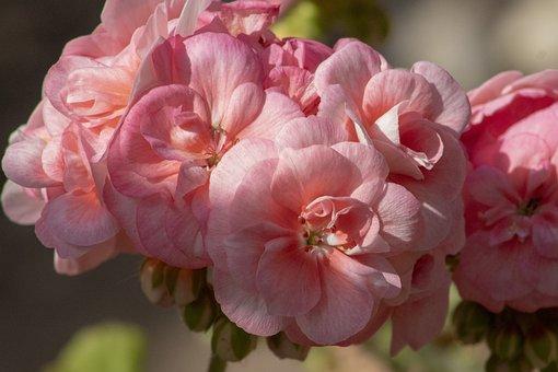 Geranium, Flower, Blooms At, Pink, Flowers, Spring