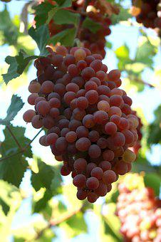 Grapes, Berry, Autumn, Ripe, Wine, Fruit, Healthy