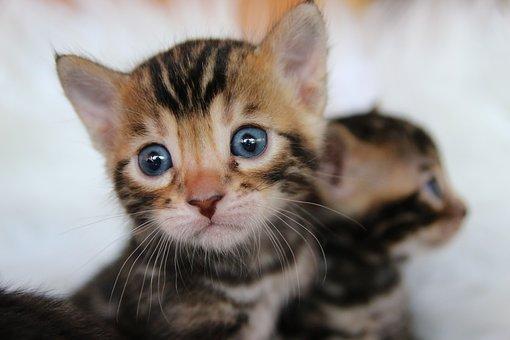 Bengal Cat, Bengal, Kitten, Tiger, Cat, Predator
