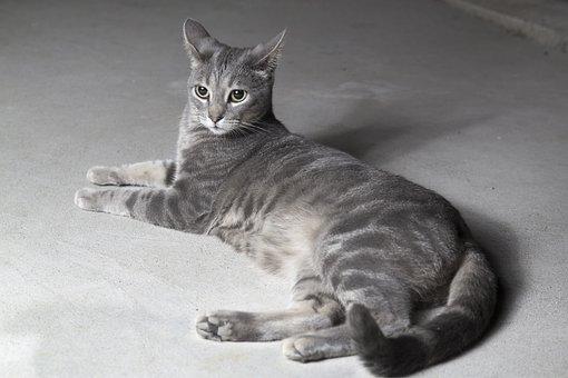 Cat, Grey, Pet, Animal, Kitten, Cute, Sweet, Feline