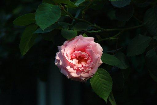 Bush, Rose, Pink, Dark, Shadow, Light, Flowers, Leaves
