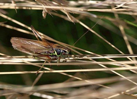 Roesel's Bush Cricket, Insect, Macro, Nature, Animal