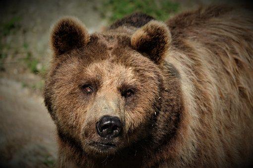 Brown Bear, Mammal, Predator, Furry, Snout, Fur, Nature