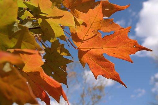 Autumn, Fall Foliage, Orange, Maple, Wine, Leaf, Forest