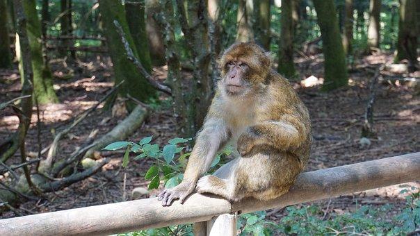 Barbary Ape, Animal, Monkey, Mammal, Wild Animal