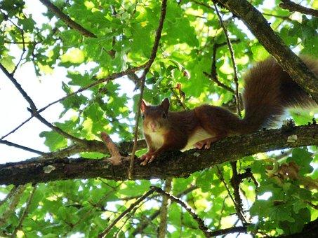Squirrel, Animal, Rodents, Nature, Mammals, Cute, Fur