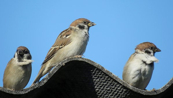 Sparrows, Birds, Flock, Plumage, Nature, Sitting