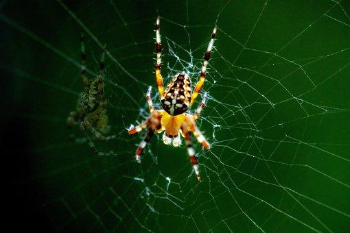 Spider, Arachnid, Nature, Outdoor, Garden, Green, Web