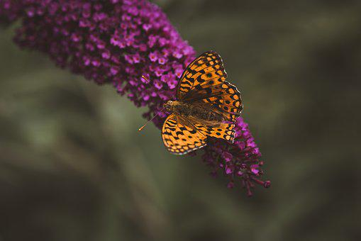 Butterfly, Orange, Lilac, Summer Lilac, Nature