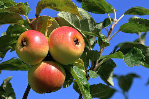 Apples, Fruit, Tree, Red, Healthy, Food, Fresh, Orchard