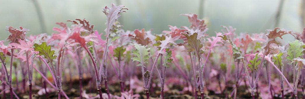 Kale, Pink, Plants, Lush, Flower, Picturesque