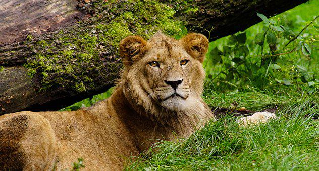 Lion, Cat, Animal World, Africa, Predator, Carnivores