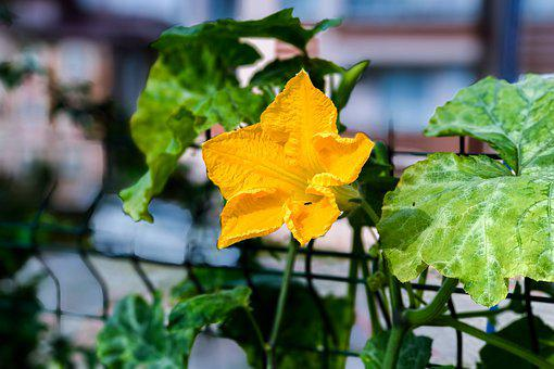 Flower, Squash Blossoms, Yellow, Summer, Vegetable