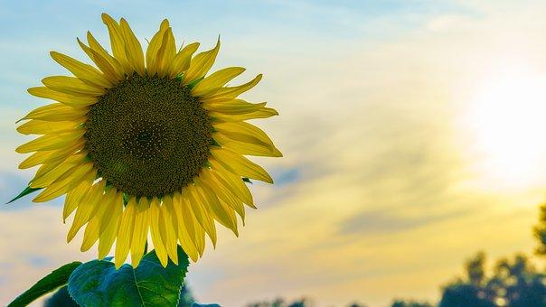 Sunflower, Arable, Evening Light, Mood, Summer