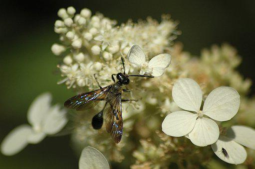Black Wasp, White Flowers, Insect, Thin, Talia, Wing