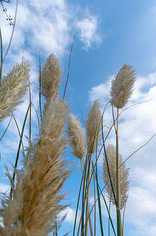 Grass, Thatched, Thatched Flower, Mao Needle, Villi