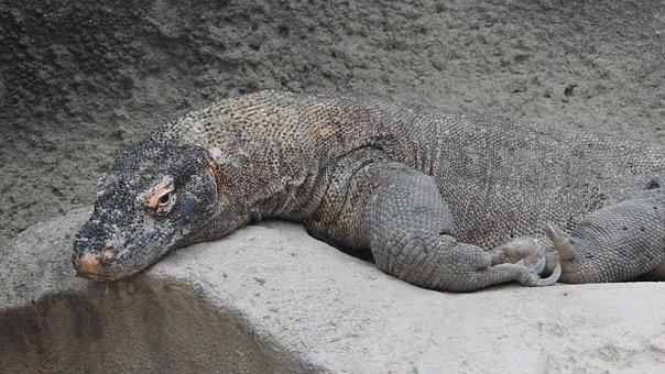 The Komodo Dragon, Varanus Komodoensis
