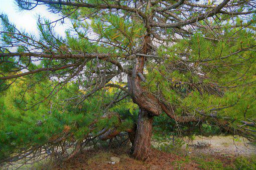 Tree, Pine, Nature, Green, Forest, Open, The Leaves Are