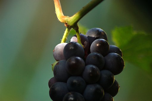 Grapes, Black, Loza, Light, Sunny, Rays, Ripe, Vitamins