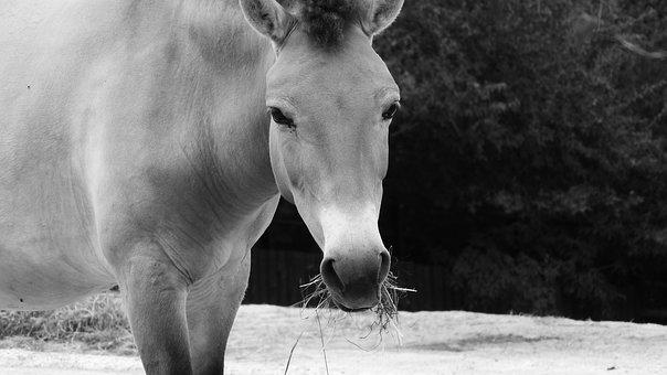 Przewalski's Horse, Equus Przewalskii, Wild Horses