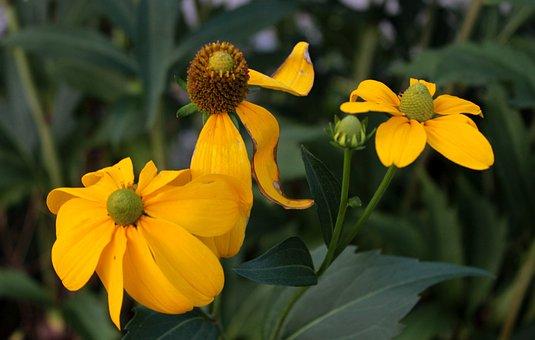 Helenium, Rosilla, Yellow, Sunny, Petals, Garden
