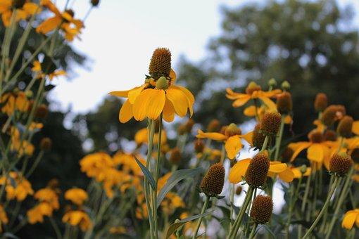 Helenium, Rosilla, Garden, Summer, Flowers, Yellow