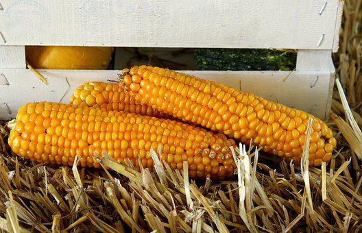 Corn, Vegetables, Yields, Yellow, Harvest, Agriculture