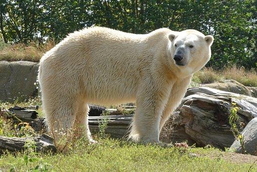 Polar Bear, Zoo, Predator, Rotterdam, Blijdorp, Animal