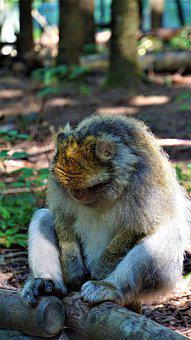 Barbary Ape, Monkey, Animal, Animal Portrait, Nature